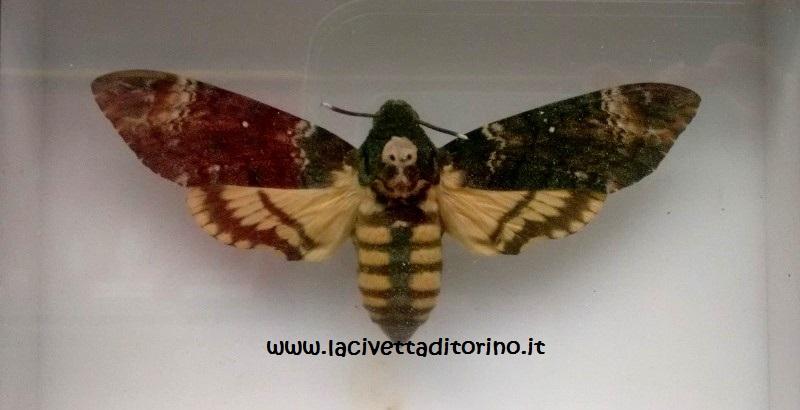 L'Acherontia Atropos (Sfinge testa di morto)